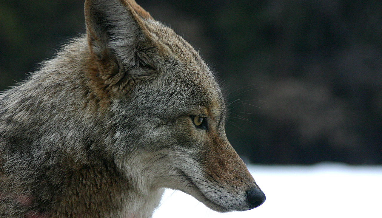 An American Coyote